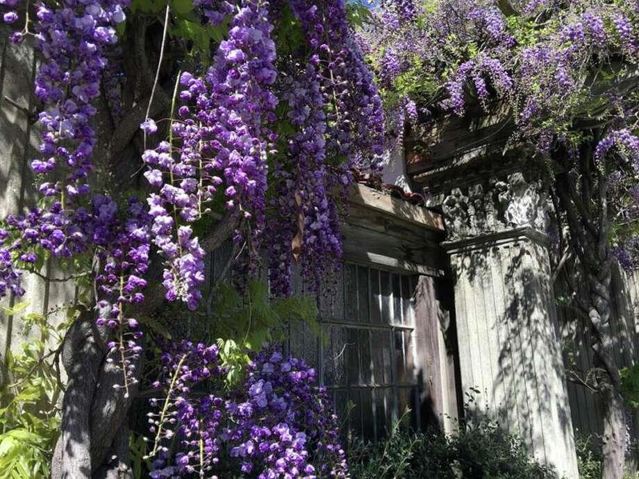 Bright purple wisteria is in-full bloom in Berkeley. Photo: Photo: Colleen Neff