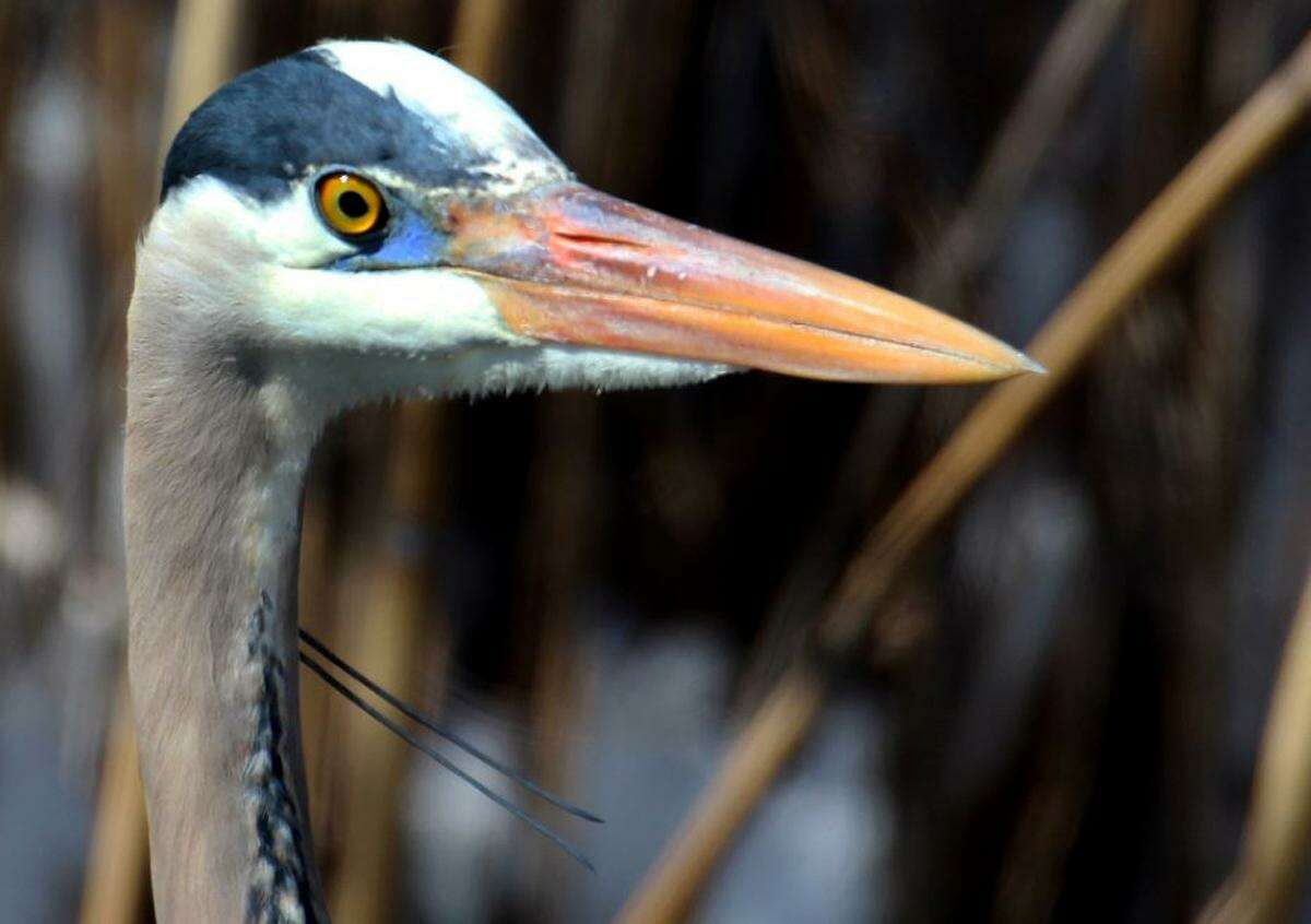 A great blue heron stands in a pond in Danbury.