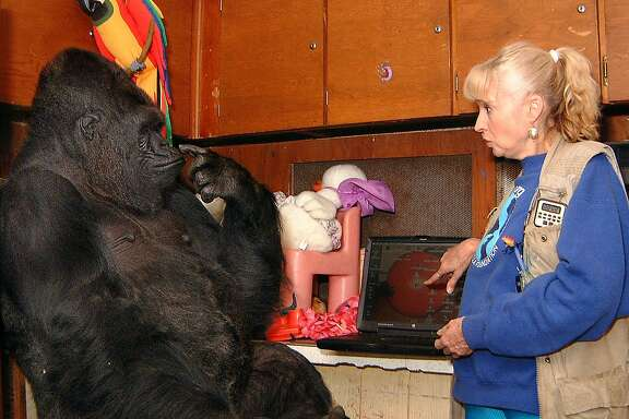 Dr. Francine 'Penny' Patterson works with Koko the gorilla in preparation for a special AOL holiday webcast to be held Wednesday, Nov. 29, 2000, at 6 p.m. EDT.   Available to all Internet users at www.aol.com, Koko will communicate with a worldwide audience about her plans to celebrate the upcoming holiday season.  The other goal of the webcast is to raise money for Koko's new home at the Allan G. Sanford Sanctuary, a refuge for gorillas in Maui, Hawaii.   Dr. Patterson has worked with Koko for over 28years, believed to be the world's longest uninterrupted inter-species communication project.  (Ron Cohn/The Gorilla Foundation/WirePix) (Business Wire/Wirepix photo)  HOUCHRON CAPTION  (03/02/2005) SECSTAR COLOR:  KOKO.