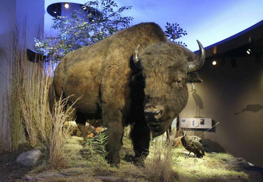 An American bison is on display in the McLean Family Texas Wild Gallery at the Witte Museum. Bison were once important to the well-being of the plains Indians. Photo: Jerry Lara /San Antonio Express-News / © 2017 San Antonio Express-News