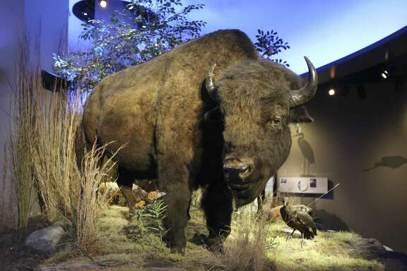 An American bison is on display in the McLean Family Texas Wild Gallery at the Witte Museum. Bison were once important to the well-being of the plains Indians.