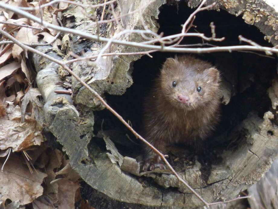An American mink (Neovison vison) peers out of a hollow log alongside the Beaver Tree Pond at Five Rivers Environmental Education Center. It's a sure harbinger of spring — and in the 60-degree heat, the mink coat was optional Monday, says photographer Tim O'Toole.