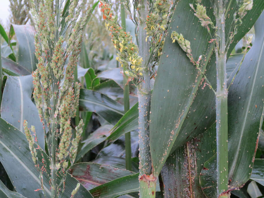 Sugarcane aphids have been scouted in South Texas weeks ahead of schedule due to warmer than usual winter and early spring conditions. Producers should expect insect emergence to be earlier than usual due to conditions.