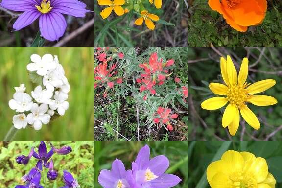 Wildflowers at Mount Diablo.