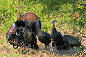 This spring turkey season, Texas hunters have enjoyed improved success calling adult gobblers from mid-morning through early afternoon, after an adult gobbler's harem of hens has drifted off to nest sites.