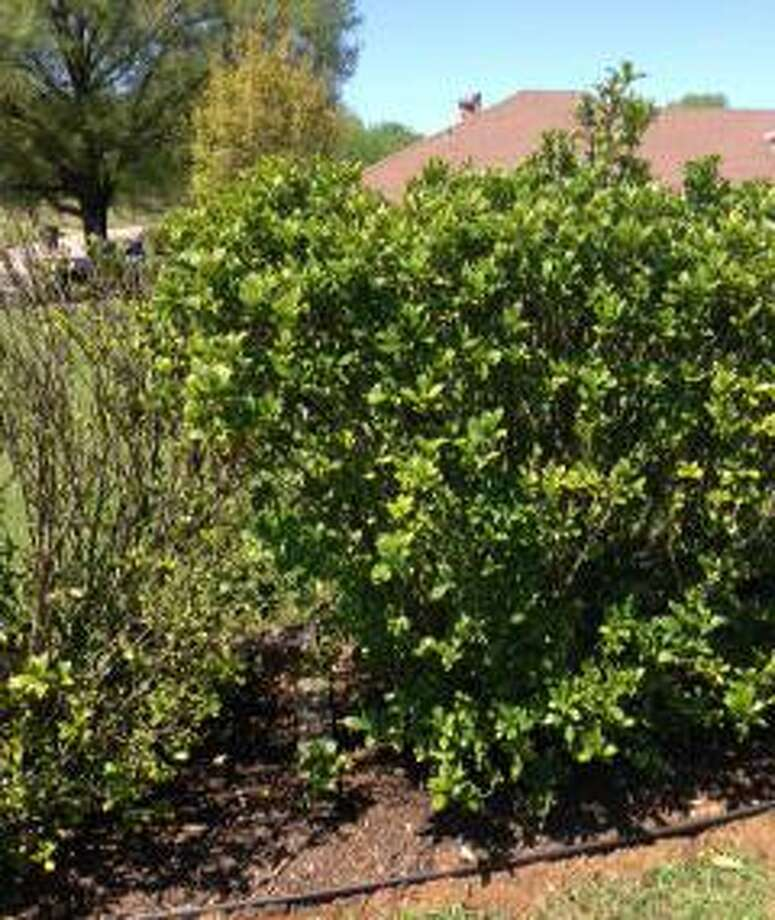 The dropped leaves on the gardenia on the left could be due to nematode damage, iron deficiency or dryness. Photo: Courtesy Photo