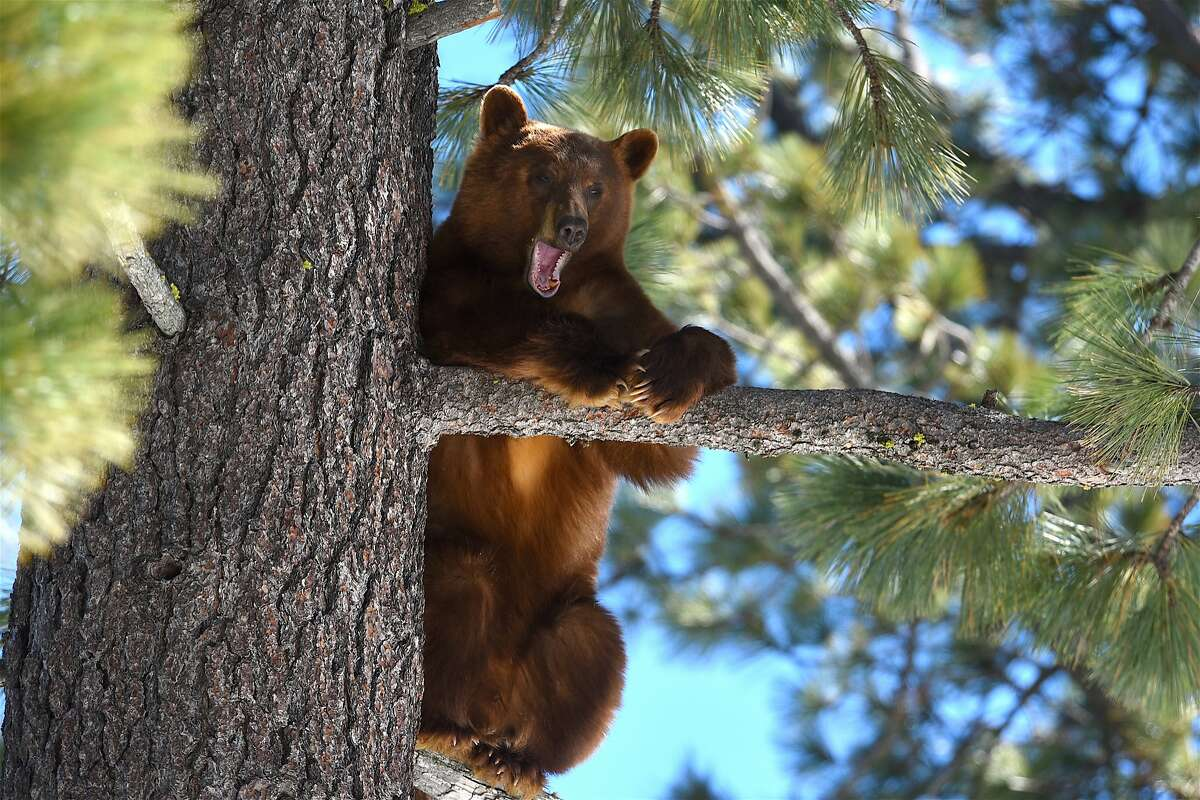 A cinnamon colored black bear near Homewood at Lake Tahoe emerged from hibernation last week, climbed a tree for a nap and took a nice big yawn as he woke up and found the ground covered in snow.