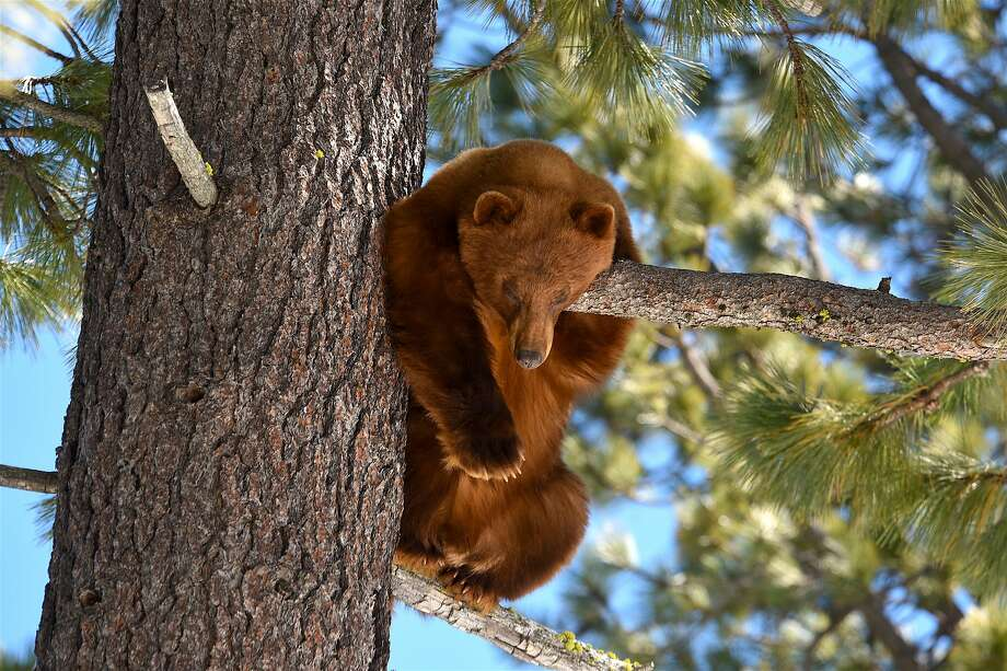 A black bear, whose numbers are growing, along the west shore at Lake Tahoe emerged from hibernation last week and climbed a tree to catch a nap. Photo: Larry Ferguson / Special To The Chronicle