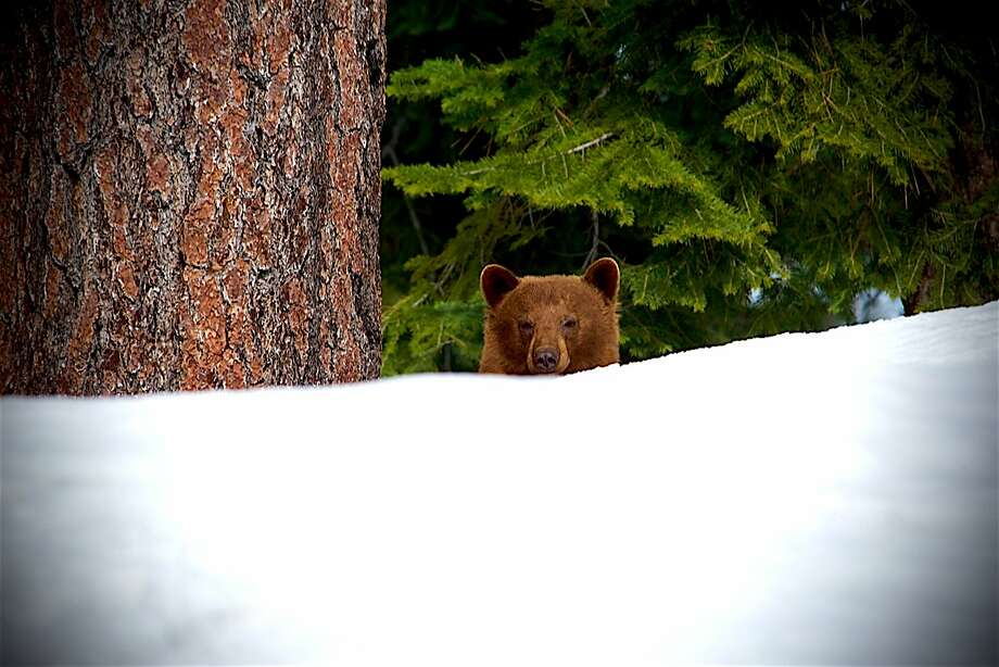 A sleepy Tahoe black bear emerged from hibernation and found more snow that he's ever seen Photo: Tom Stienstra, Larry Ferguson / Special To The Chronicle