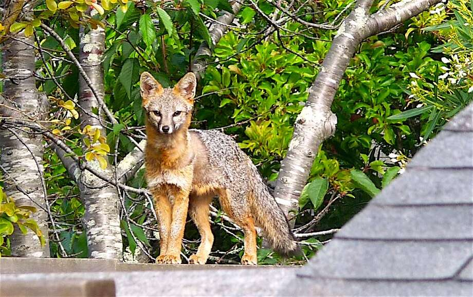 A fox was photographed walking the top of the fence line in the backyard of a home in Mill Valley, a week after a coyote was sighted and photographed doing the same thing in Millbrae Photo: Tom Stienstra, Douglas Nelson / Special To The Chronicle