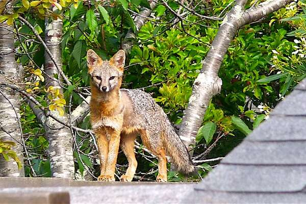 A fox was photographed walking the top of the fence line in the backyard of a home in Mill Valley, a week after a coyote was sighted and photographed doing the same thing in Millbrae