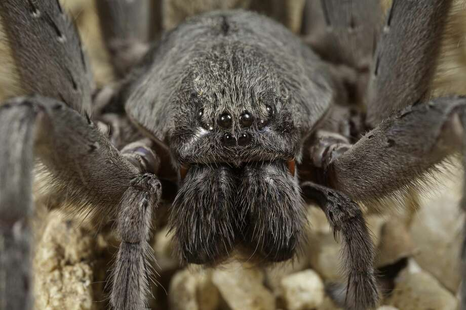 Researchers at the San Diego Natural History museum recently discovered a new species and genus of spider in the hills of Baja California, called Califorctenus cacahilensis.  Photo: San Diego Natural History Museum