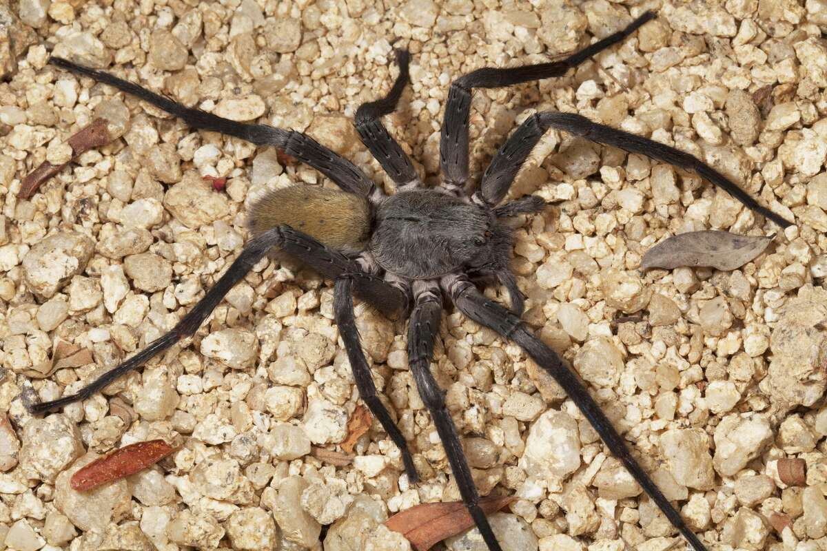 A woman in India found a live spider living inside of her ear.Pictured: Researchers at the San Diego Natural History museum recently discovered a new species and genus of spider in the hills of Baja California, called Califorctenus cacahilensis