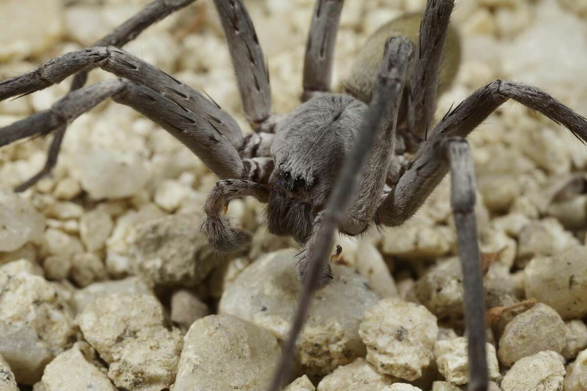 Researchers at the San Diego Natural History museum recently discovered a new species and genus of spider in the hills of Baja California, calledCaliforctenus cacahilensis.