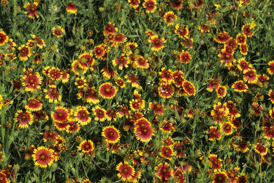 Texas' blooming flowersThe Texas Parks and Wildlife Department recently identified several state parks with blooming wildflowers and plants.Click through to see spring flowers that are blooming throughout the Lone Star State.