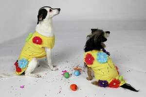 Sebastian, left, and Dobson model Fiesta doggy shirts made by Cheryl Trevor, who designs the Fiesta canine robes for El Rey Fido. Trevor glued artificial flowers and embroidered patterns on each shirt, though you can skip the needle and thread and just glue on rickrack patterns or draw your own Fiesta designs with fabric paint.