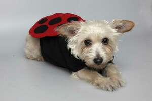 Penny models a ladybug costume made with a children's T-shirt and cardboard wings covered with red felt and black felt dots.