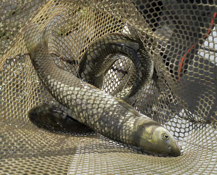 About 50 sterile grass carp with trackers were added to Candlewood Lake Wednesday morning, making it the first program of its kind in Connecticut. Each carp has a transmitter that was surgically inserted into the fish's stomach and an antenna several inches long coming out of its side. Using a unique radio frequency, scientists can track each fish to see how it moves throughout the lake and what factors contribute to these movements, including proximity to the Eurasian watermilfoil. Photo: Carol Kaliff / Hearst Connecticut Media / The News-Times