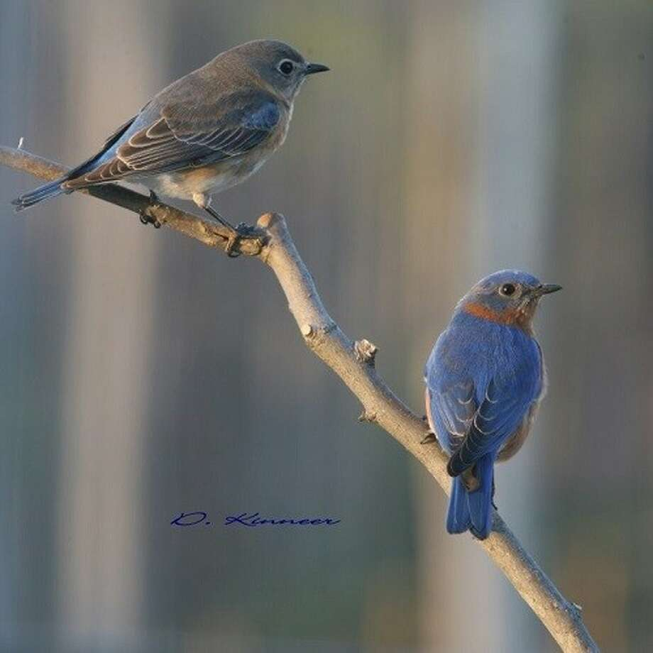 A female Eastern Bluebird sits above the male on a branch. Photo: Submitted Photo