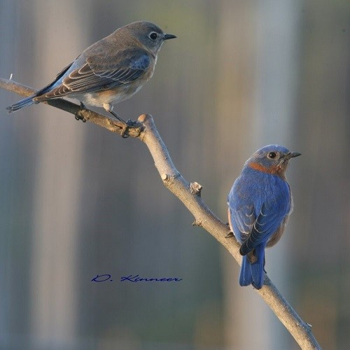 Master Gardener Let Us Explore The Eastern Bluebird The Courier