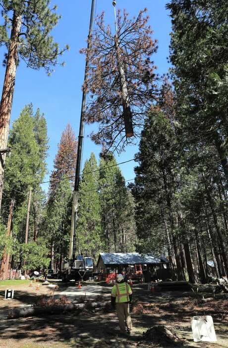 Diseased ponderosa pine trees are cut down and removed from the forest in Wawona (Mariposa County). The prolonged drought made the trees easy prey for bark beetles. Photo: Michael Macor / Photos By Michael Macor / The Chronicle / ONLINE_YES
