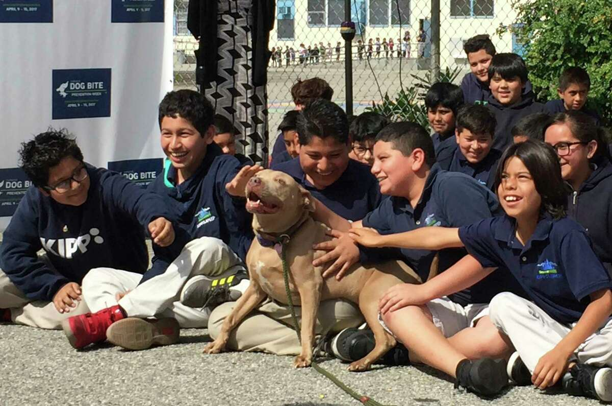 """A pit bull named """"Lucy"""" is pet by school children as part of the U.S. Postal Service """"National Dog Bite Prevention Week,"""" during an awareness event at the YMCA in Los Angeles Thursday, April 6, 2017. Dog attacks on postal workers rose last year to 6,755, up 206 from the previous year and the highest in three decades, as internet shopping booms and consumers increasingly demand seven-day-a-week package delivery and groceries dropped at their doorstep. Los Angeles topped the 2016 list with 80 attacks on postal workers, followed by Houston with 62 and Cleveland with 60. (AP Photo/Amanda Lee Myers) ORG XMIT: RPAM402"""