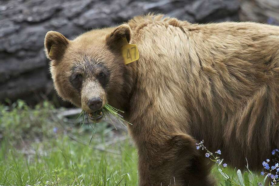 Keeping wild black bears away from humans in Yosemite National Park is a constant battle. Photo: Bob Roney, Associated Press