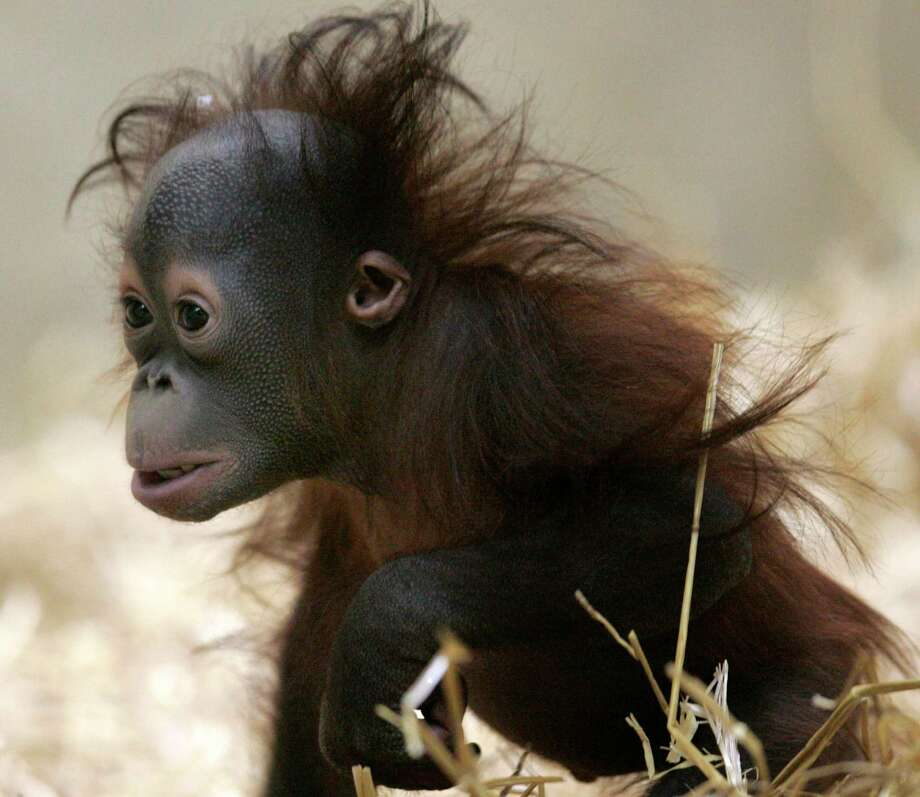 Mahal, a 9-month-old orangutan, arrived at the Milwaukee County Zoo in 2008 but died mysteriously four years later.  Photo: Kristyna Wentz-Graff, FILE / Milwaukee Journal Sentinel