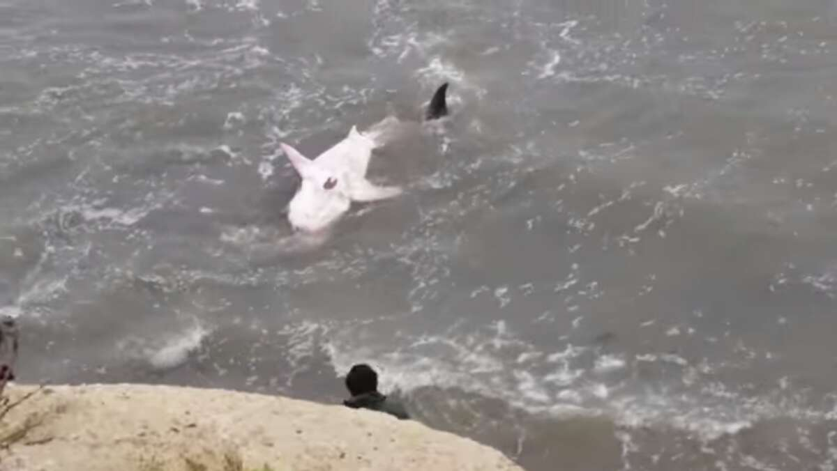 A 10-foot-long great white shark washed up on a beach near Pleasure Point in Santa Cruz on Friday night. Onlookers gathered in the cliffs above or trekked down to the water to get photos. The shark remained stranded as of Saturday afternoon.