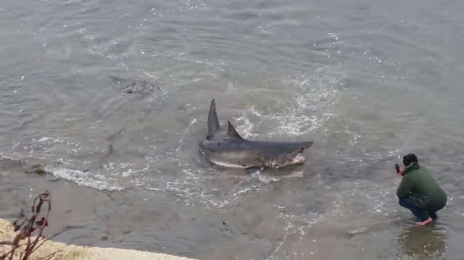 A 10-foot-long great white shark washed up on a beach near Pleasure Point in Santa Cruz on Friday night. Onlookers gathered in the cliffs above or trekked down to the water to get photos. The shark remained stranded as of Saturday afternoon. Photo: Mark Schwartz