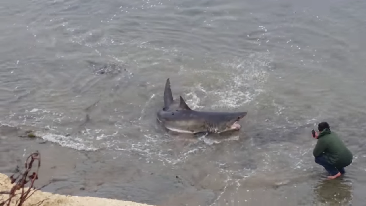 Update: 10-foot-long great white shark stranded on Santa Cruz beach dies