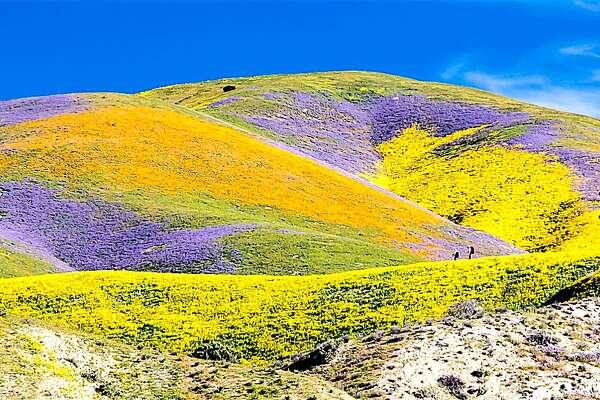 California's weird winter weather means wildflower season