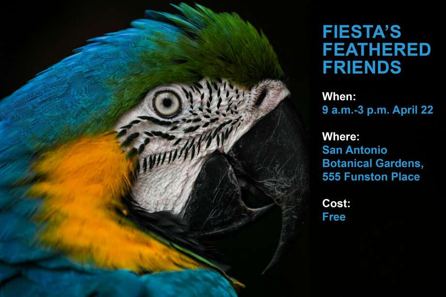 The first pet friendly event of Fiesta is for the birds. On April 22, visitors to the San Antonio Botanical Garden, 555 Funston Place, are invited to bring their parrots to Fiesta's Feathered Friends. From 9 a.m. to 3 p.m., bird keepers will be available to offer advice about caring for birds, avian accessories and diets. The event is sponsored by the Alamo Exhibition Bird Club. Photo: MOHD RASFAN/AFP/Getty Images