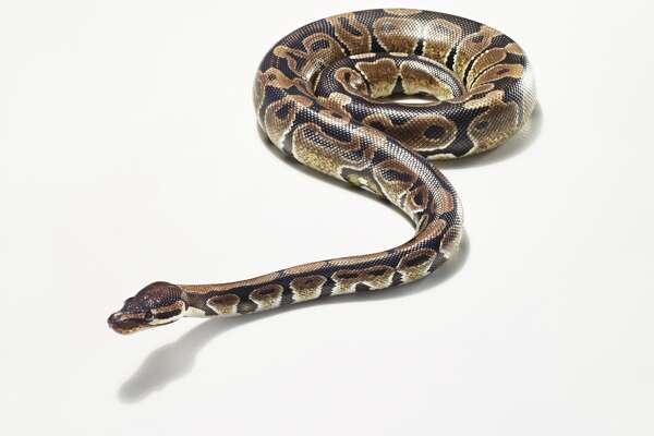 Python snake photo, stock
