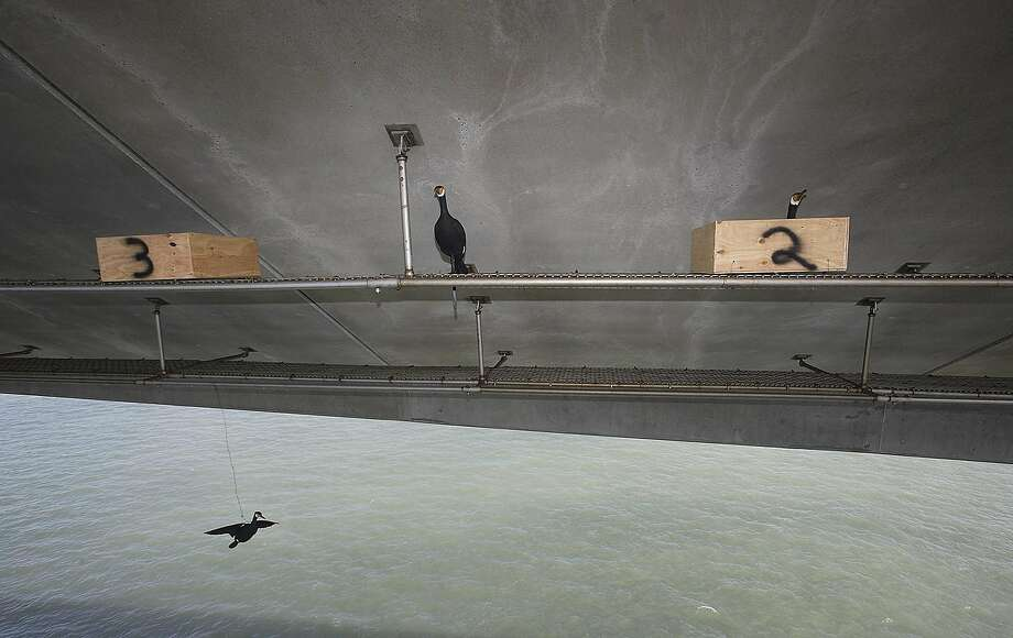 This 2012 photo by the California Department of Transportation shows cormorants under the old eastern span of the San Francisco-Oakland Bay Bridge. Photo: William Hall, Associated Press