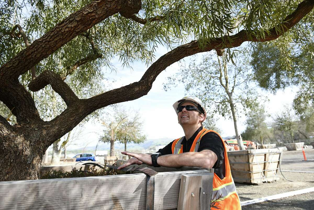 Patrick Trollip, Business Development Manager for McGuire and Hester Contracting, looks at the twisting branches of an African Sumac tree that will be part of the landscaping at the new Transbay Terminal, at Western Star Nurseries in Sunol, CA, on Friday March 10, 2017.