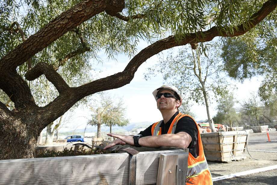 Patrick Trollip, Business Development Manager for  McGuire and Hester Contracting, looks at the twisting branches of an African Sumac tree that will be part of the landscaping at the new Transbay Terminal, at Western Star Nurseries in Sunol, CA, on Friday March 10, 2017. Photo: Michael Short, Special To The Chronicle