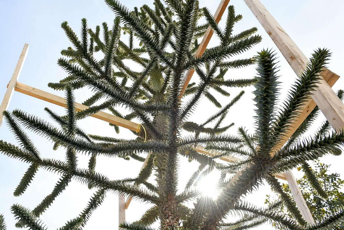 The spiky leaves of a Monkey Puzzle tree, that will be part of the landscaping at the new Transbay Terminal, is seen in a lot run by McGuire and Hester Contracting at Western Star Nurseries in Sunol, CA, on Friday March 10, 2017.