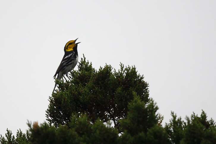 The golden-cheeked warbler nests in only 35 Texas counties from March to June.