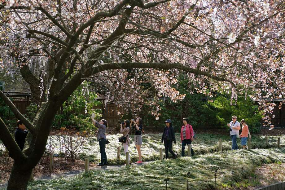NEW YORK, NY - APRIL 11: On an unseasonably warm day, people take photographs of cherry trees at Brooklyn Botanic Garden, April 11, 2017 in the Brooklyn borough of New York City. Temperatures are forecasted to come close to the 80 degree mark on Tuesday, well above the normal April averages. (Photo by Drew Angerer/Getty Images) ORG XMIT: 700033123 Photo: Drew Angerer / 2017 Getty Images