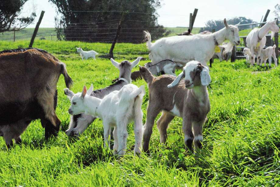 The ninth annual Goat Festival is set for the Ferry Plaza Farmers Market. Photo: Ann Verhey