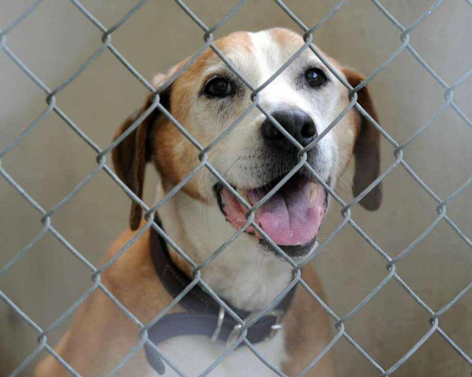 Moses, owned by Rose and Michael Wilk of Brookfield, is being kept in quarantine at the New Milford Animal Shelter. Photo: Carol Kaliff / The News-Times