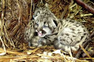 Three 10-day-old mountain lion kittens were found in Sonoma County. Their mother is P1, a female mountain lion enlisted in Audobon Canyon Ranch's research study.