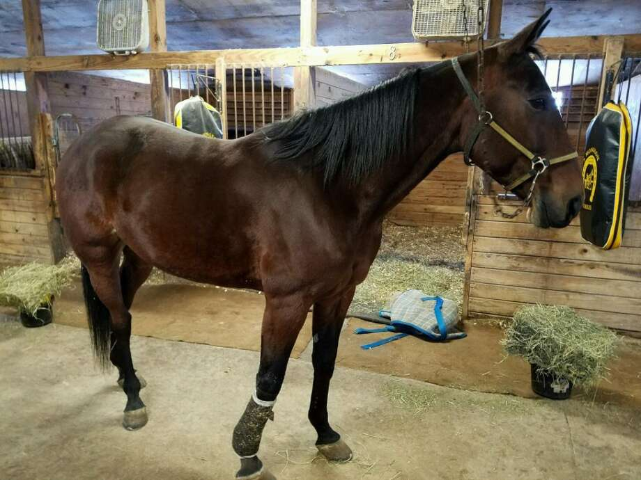 Apollo, the newest recruit with Saratoga Springs police, is about to go to the equine police academy. (Courtesy Saratoga Springs Police Department)