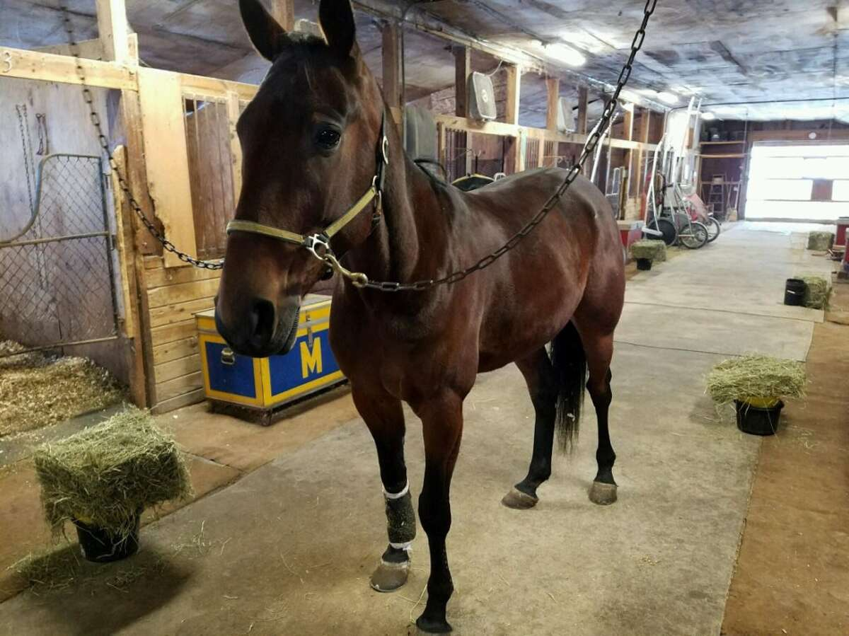Apollo, the newest recruit with Saratoga Springs police, went to the equine police academy in Rockland County. (Courtesy Saratoga Springs Police Department)
