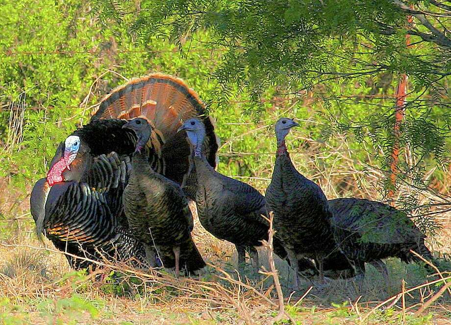 This spring turkey season, Texas hunters have enjoyed improved success calling adult gobblers from mid-morning through early afternoon, after an adult gobbler's harem of hens have drifted off to nest sites. Photo: Shannon Tompkins /Houston Chronicle