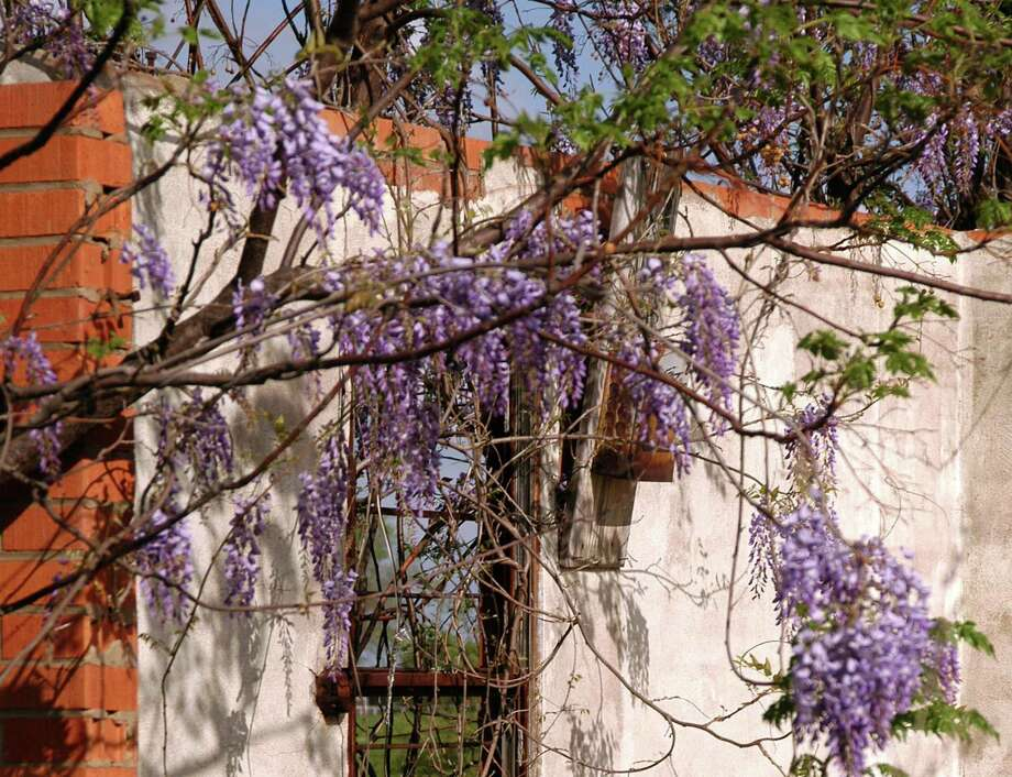 There are several possible reasons why a wisteria would no bloom, from mistimed pruning to not enough light. Photo: Courtesy Photo