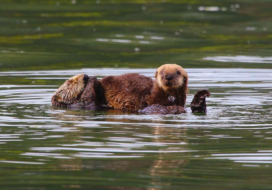 A newborn sea otter sits on its mother, which takes a snooze while floating upside down. The best places for spotting sea otters are between Monterey Bay and Cambria, biologists say. Photo: Tom Stienstra, Giancarlo Thomae Photography / Special To The Chronicle