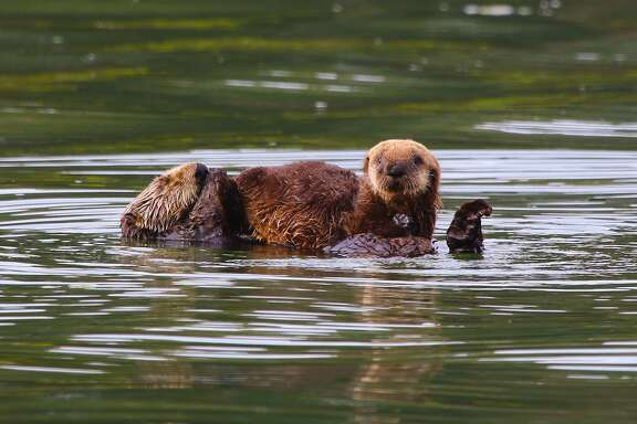 A newborn sea otter perched on the belly of its mother, which takes a snooze while floating upside down
