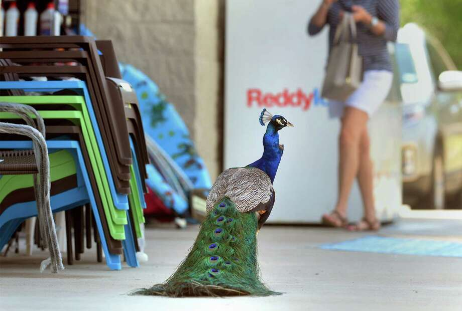 A peacock hangs out at the Silsbee Dollar General as patrons enter and exit the building Thursday. The bird has become a regular site for many customers since the store's opening last year.   Photo taken Thursday, April 13, 2017 Guiseppe Barranco/The Enterprise Photo: Guiseppe Barranco, Photo Editor